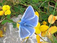 Photo of Common Blue - Small species
