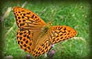 Butterfly Species - Silver-washed fritillary